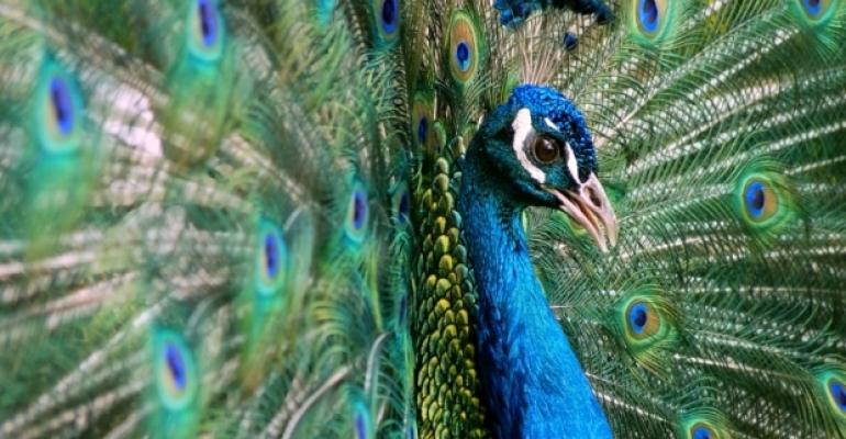 Peacock Feathers Strut